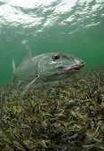 stock photo of bonefish  - a bonefish is swimming in the grass flats ocean - JPG
