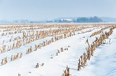 image of zea  - View at lines of harvested fodder maize in a snowy Dutch landscape - JPG