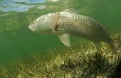 picture of redfish  - In its natural habitat a redfish is swimming in the grass flats ocean - JPG
