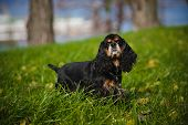 stock photo of seeing eye dog  - american cocker spaniel portrait in autumn - JPG