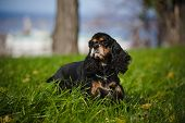 picture of seeing eye dog  - american cocker spaniel portrait in autumn - JPG