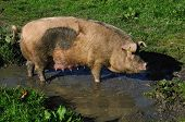 stock photo of wallow  - Domestic pig wallowing in a mud puddle Westland New Zealand - JPG