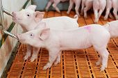 foto of animal husbandry  - group of young piglet drinking water at pig breeding farm - JPG