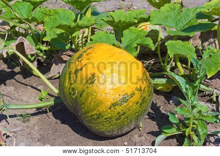 Pumpkin On Field