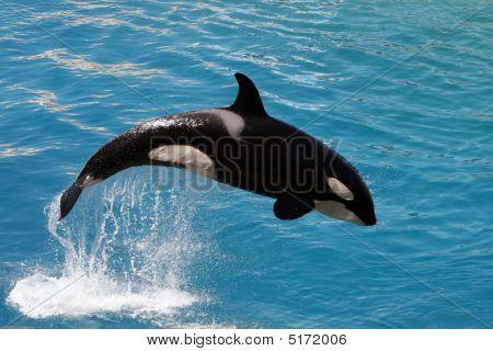 Killer Whale #3
