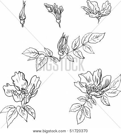 Set of linear drawing flowers from sweet briar