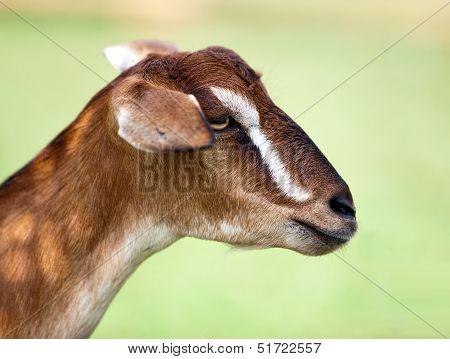 Toggenburg hornless goat