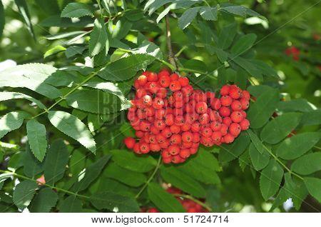 Mountain ash. Rowan-tree. The fruits of mountain ash. Rowan berries ripen on the tree.