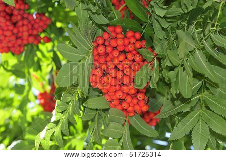 Mountain ash. Rowan-tree. The fruits of mountain ash. Rowan berries ripen on the tree.