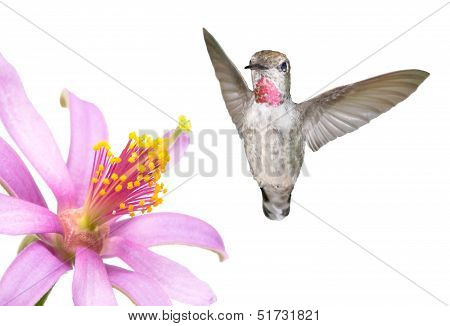 Ruby Throated Humming Bird and Flower on a White Background