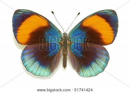 Exotic butterfly Asterope sapphira