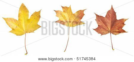 Isolated Autumn Maple Leafs