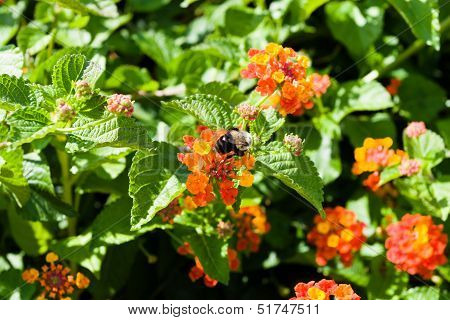 Busy Bumble Bee Collecting Pollen At Colorful Flowers.