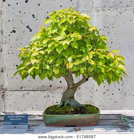 Bonsai Tree On Display