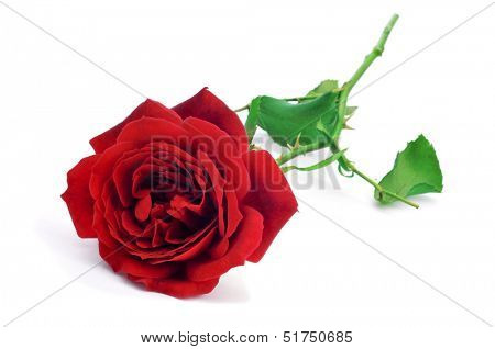 closeup of a beautiful red rose on a white background