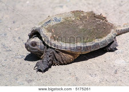 Snapping Turtle Chelydra Serpentina Re4529