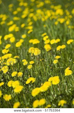 Dandelion on a field