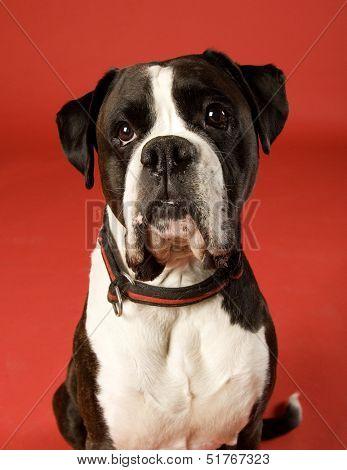 Sad Boxer on red background