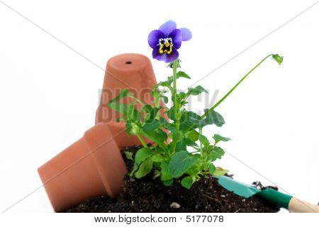 Pansy Being Potted