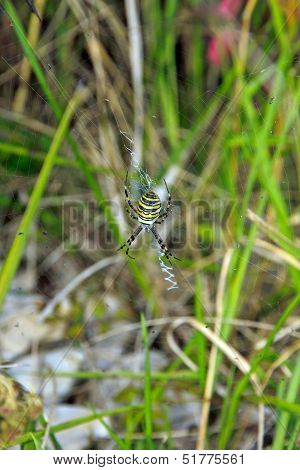 Spider Argiope, black and yellow (France Europe)