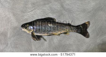 freak salmo salar baby fish salmon