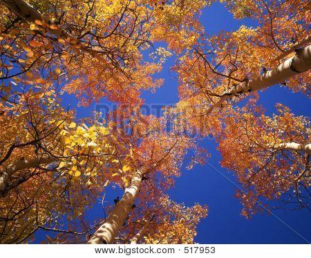 Orange Aspen Canopy