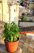 image of genova  - Basil in the pot on the terrace in Genova Italy - JPG