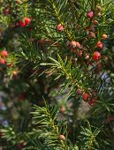 picture of juniper-tree  - Ripening juniper berries on a tree in October Sweden - JPG