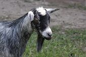 stock photo of billy goat  - A close up of a billy goat - JPG