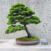 stock photo of bonsai tree  - A bonsai miniature of a Hinoki Falsecypress tree on display at the North Carolina Arboretum - JPG
