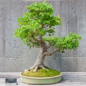 image of bonsai  - A bonsai miniature of a Trident Maple tree on display at the North Carolina Arboretum - JPG