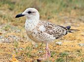 Gull Bird Standing On Grass Outdoor Close-up Wild Nature. Gulls Are Birds In The Family Laridae