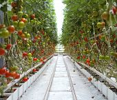 pic of greenhouse  - Rows of Tomatoes in a Greenhouse - JPG