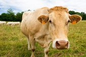 stock photo of charolais  - The French Charolais cows in green fields - JPG