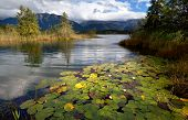 stock photo of bavarian alps  - water lily flowers on alpine lake in Bavarian Alps Germany - JPG