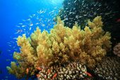 Damselfish And Soft Coral poster