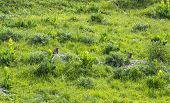 picture of groundhog  - Two groundhogs along the road to Colle dell - JPG