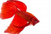 stock photo of siamese fighting fish  - Red Siamese fighting fish  - JPG