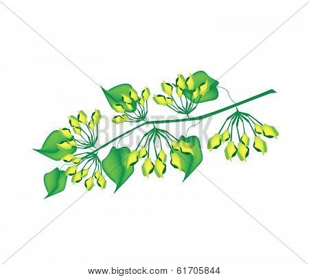 Fresh Cowslip Creeper Flower On White Background