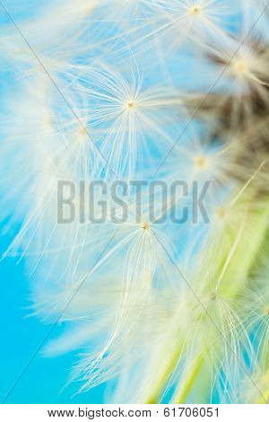 Pappus Seed Close Up