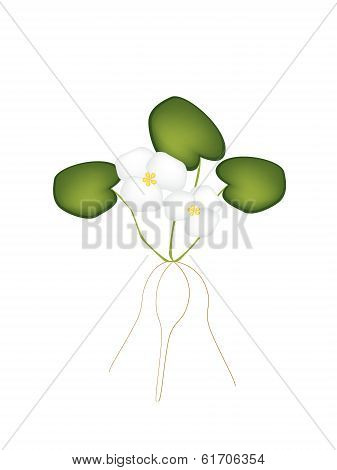 Fresh Common Frogbit Plant On White Background