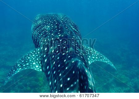 Whale Shark (Rhincodon typus) swimming  in crystal clear blue waters at Maldives