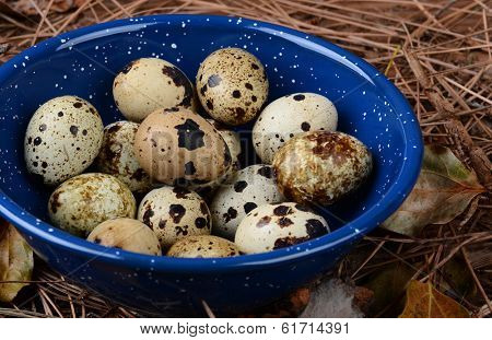 Closeup of a hikers bowl full of quail eggs. The bowl is sitting amongst twigs and leaves on the forest floor.