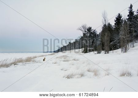 Coyote On Snow Covered Beach