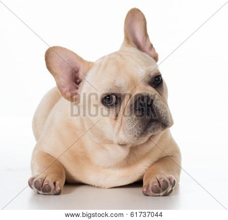 french bulldog laying down isolated on white background