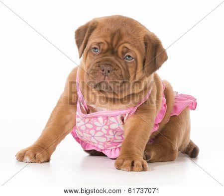 dog wearing bikini - dogue de bordeaux wearing swimsuit isolated on white background - 5 weeks old