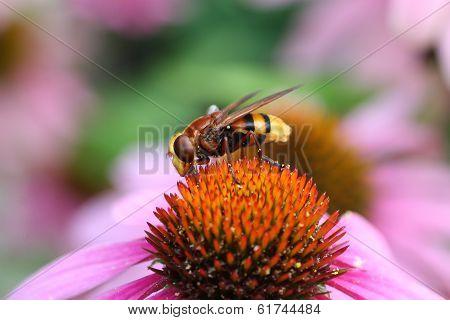 Volsella Volucella zonaria hoverfly