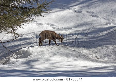Puppy chamois, National Park, Aosta