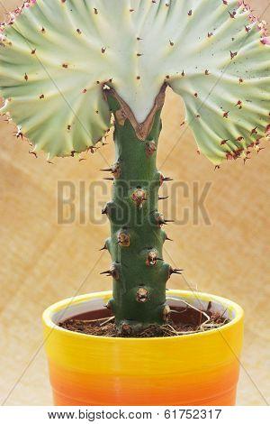 Beautiful Euphorbia Lactea Cristata In A Colorful Flower Pot