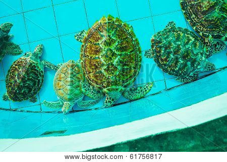 Green Turtle Or Erethmochelys Imbricata On Pond, Top View
